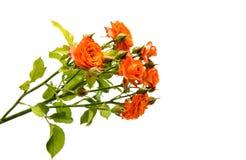 Orange rose isolated. On white background stock photography
