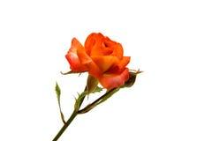 Orange rose isolated. On white background royalty free stock photo