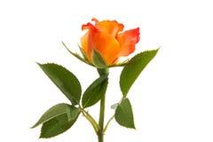 Orange rose isolated. On white background royalty free stock photos