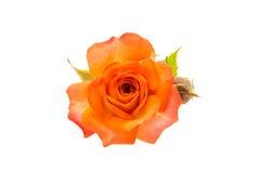 Orange rose isolated. On white background royalty free stock images