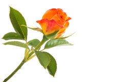 Orange rose isolated. On white background royalty free stock photography