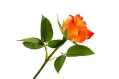 Orange rose isolated. On white background stock photo