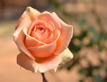 Orange rose isolated on white background.  stock images