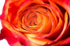 Orange rose is isolated on white background. Closeup stock images