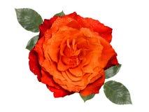 Orange rose ,isolated on white background. Orange rose with leaves,isolated on white background Stock Photos