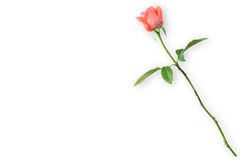 Orange rose isolated on white. Background (valentine concept royalty free stock photography