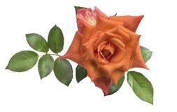 Orange rose, isolated on white. Beautiful orange rose, isolated on white royalty free stock photos