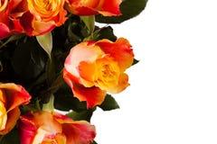 Orange rose isolated on white. Beautiful flower royalty free stock photo