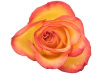 Orange rose. Isolated on white with clipping path royalty free stock photo