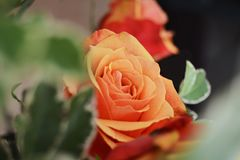 Orange rose among leaves. Closeup of orange and red rose among out of focus green leaves royalty free stock image