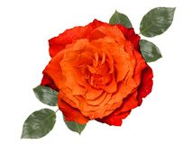 Orange rose with leaves, isolated on white background. Orange rose with leaves,isolated on white background Royalty Free Stock Images
