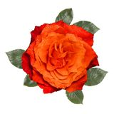Orange rose with leaves,isolated on white background. Orange rose with leaves, isolated on white background Stock Photography