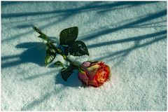 Orange rose lies in the snow. Orange rose lies in the snow with shadows from bushes on a sunny day in Sweden royalty free stock image