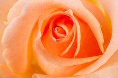 Orange rose macro Stock Photos