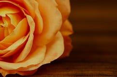 Orange rose macro. Detail of beautiful blossoming orange rose stock photos