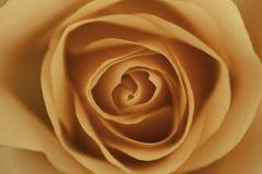 Orange rose. Macroshot of a beautiful orange rose flower Stock Image