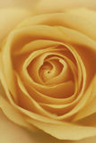 Orange rose macro portrait Royalty Free Stock Image