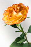 Orange rose macro shot. One full-blown orange color tea rose with red edges on a green stalk, on white background, vertical image Stock Images