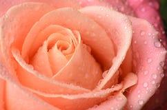 Orange rose macro with water drops. Orange, pink rose macro with dew water drops royalty free stock photos