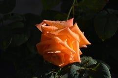 Orange Rose mit Regentropfen auf den Blumenblättern Stockfotografie