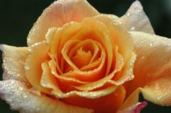 Orange rose in the morning dew. An orange rose in the morning dew stock photo