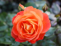Orange rose. `morning sun` in the rose garden royalty free stock photos