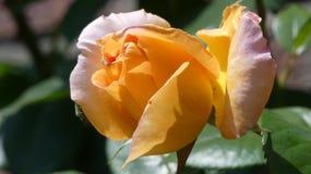 Orange rose. This is a nice orange rose stock photography