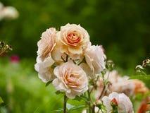 Orange rose. Nice close up on orange rose in garden stock image