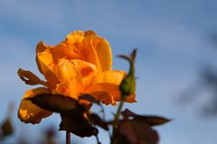 Orange Rose in Afternoon Sunshine. An orange rose opening on a stem and lit by afternoon sunshine against a blue sky royalty free stock photos
