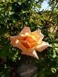 Orange Rose. Bloom stock photography
