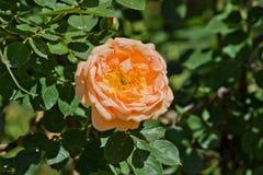 Orange rose. On a bush closeup stock photography