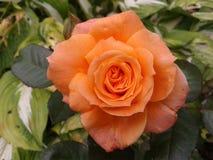 Orange rose 3 Stock Photos