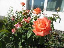 Orange rose. In front of windows stock images