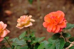 An Orange rose. In a garden royalty free stock photos