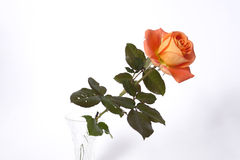 Orange rose. On the neutral background stock images