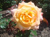 Orange rose. Orange and yellow beautiful garden rose stock photo