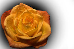 Orange rose over black and white Stock Image