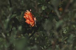 Orange rose over green royalty free stock images