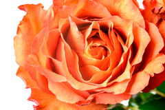 Orange rose petals Royalty Free Stock Photo