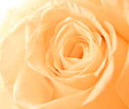 Orange rose petals Stock Photo