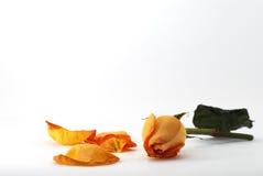 Orange rose with petals Stock Photo