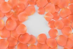 Orange rose petals on white background. With round copy space royalty free stock image