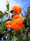 Orange rose. Photography with scene of the orange rose stock photo