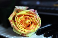 Orange rose on piano so close. One flower royalty free stock photography