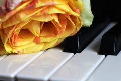 Orange rose on piano so close. One flower stock images