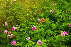 An orange rose among pink roses and violet roses with a lot of rose green leaves in the scene on orange warm light day time can be. Use as back ground for any stock photo