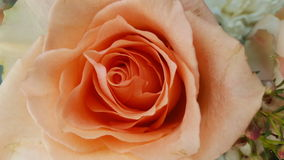 Orange rose. Pretty Orange rose stock photo