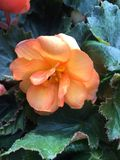 Orange rose. With  prickly leaves, so more a dog rose Stock Photography