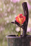 Orange Rose in the Rain. Orange Rose on a branch in the rain Stock Photo