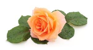 Orange rose with rain droplets. stock image